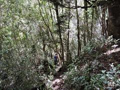 Going down fast. (flashmick) Tags: westcoast westland newzealand tramping hiking bushwalk bush vegetation foliage griffin descent march autumn 2018 daywalk