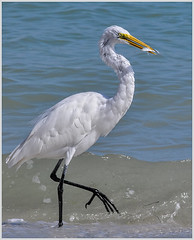 24 - Great Egret with Fish