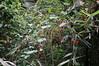 白英 (dtmed9) Tags: solanumlyratum plantae 植物界 magnoliophyta 木蘭植物門 magnoliopsida 木蘭綱 solanales 茄目 solanaceae 茄科 solanum 茄屬