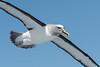 Buller's Albatross (Helen Cunningham) Tags: d500 nikkorafs200500mm eaglehawkpelagic tasmania bullersalbatross