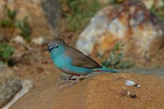Ангольский астрильд, Uraeginthus angolensis, Blue Waxbill (Oleg Nomad) Tags: ангольскийастрильд uraeginthusangolensis bluewaxbill птицы фотоохота африка сафари намибия bird aves safari africa namibia