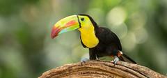 Keel-billed Toucan (zeroskilz) Tags: costa rica mike timmons bird nature wildlife toucan keelbilled