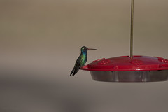 Broad-billed Hummingbird - Paton Center for Hummingbirds - Patagonia, AZ - lifer (wilsonchristopheradam) Tags: broadbilledhummingbird patoncenterforhummingbirdspatagonia az arizona lifer bird birding nikon nikonbirdhunter adamwilson2018