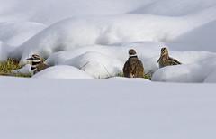 Snipe and Killdeer (snooker2009) Tags: bird snipe killdeer snow winter spring nature wildlife pennsylvania migration