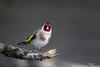 Chardonneret élégant (gilbert.calatayud) Tags: cardueliscarduelis chardonneretélégant europeangoldfinch fringillidés passériformes bird oiseau graulhet tarn occitanie