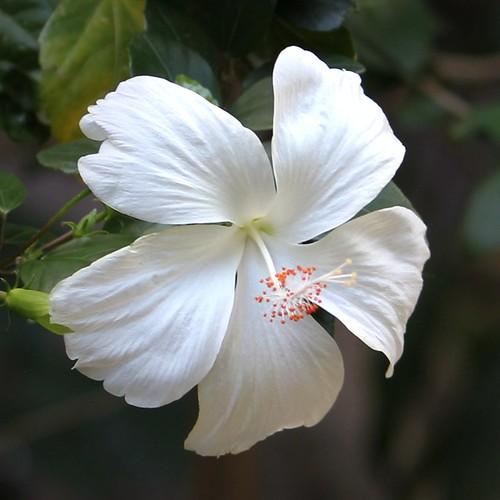 Hibiscus, Bali