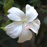 Hibiscus, Bali thumbnail