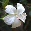 Hibiscus, Bali (scinta1) Tags: bali legian garden tropical flowers leaves nature plants white hibiscus