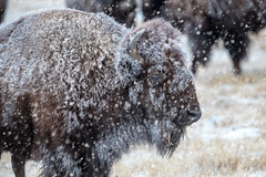 A Will to Endure (Theodore A. Stark) Tags: ifttt 500px 2018 american bison animals buffalo canon denver county gps january rocky mountain arsenal national wildlife refuge snow stark ted theodore a tstarkcom usa americanbison denvercounty rockymountainarsenalnationalwildliferefuge tedstark theodoreastark wintr colorado unitedstates