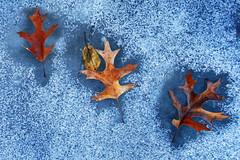 Odd Man Out - Hyland Lake (j-rye) Tags: leaf sony a6000 sonya6000 sonyalpha ice snow winter mirrorless rokinon12mmf20 2771lkg