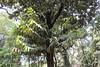 Diospyros philippinensis_Jijamata Udyan6 (Alka Khare) Tags: diospyros ebenaceae