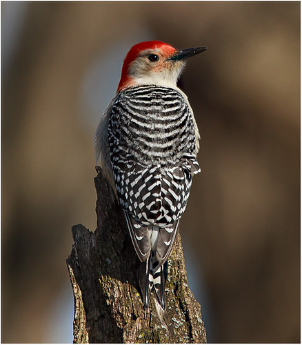 Red Bellied Woodpecker by John Janunas - Class A Digital - Award- March 2018
