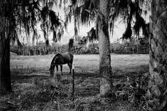 Quiet lunch Homstead #2 (John Ilko) Tags: 500px horse graze pasture field provision restful palmetto ranch fujifilm 18mm blackwhite primelens