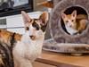 _P1011752_cut (daniel kuhne) Tags: cats katzen cornishrex stubentiger mft epl3