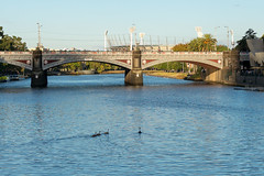 Swans floating toward the MCG (Derek Midgley) Tags: dsc00422 australianblackswan yarra river
