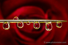 Rose in Droplets (Photonistan) Tags: crazytuesday drops 7dwf rose needle refraction reflection droplets dropphotography redrose red love symboloflove photonistan photography beautiful