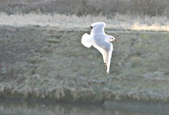 Lumière d'hiver (BrigitteChanson) Tags: mouette gull gabbiano gaviota sambre gel hiver