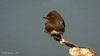 Black Phoebe (Bob Gunderson) Tags: birds blackphoebe california empidonaxflycatchers flycatchers lasgallinas marincounty northbay northerncalifornia sayornisnigricans
