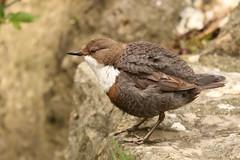 Cincle Plongeur (benjaminbizeray) Tags: séchage plongeur oiseau bird plume