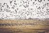 Bird Migration (nerdigwalking) Tags: bird vogel vögel vogelzug gänse gans himmel sky swarm schwarm nordsee norddeutschland feld felder norden herbst frühling