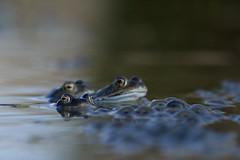 Common frogs (nikodemmatuszkiewicz) Tags: wildlife wild wildlifephotography wildlifebeauty wildanimals nature noncaptive naturespectacle animals animalphotography animalplanet amphibians frogs frog commonfrog spawningseason spring