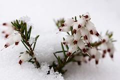 Dans le froid - (Noir et Blanc 19) Tags: neige hiver glace bruyère nature macro sony a77