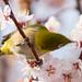 梅とメジロ / Plum Blossoms and White-eye