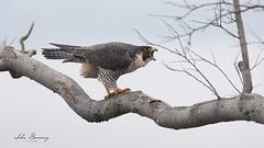 Peregrine Falcon (johnbacaring) Tags: peregrinefalcon peregrine falcon wildlife nature birds birding newjersey raptor birdsofprey