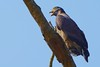 a common sound in the Indian jungle (cirdantravels (Fons Buts)) Tags: eagle serpenteagle crestedserpenteagle spilornis spilornischeelah serpentaire slangenarend schlangenweihe dudhwa pilibhittigerreserve coth5
