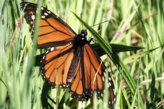 Monarch of the grass (TJ Gehling) Tags: insect lepidoptera butterfly nymphalidae monarch monarchbutterfly danaus danausplexippus grass albanyhill albanyca