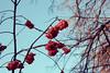 Рябина (coffewake) Tags: berries samara самара