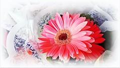 Gérbera rosa... MCris (MCrissssss) Tags: flores flowers flor rosa beleza natureza nature macro