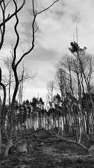 20170330_181031 [ps] - Blasted Heath (Anyhoo) Tags: anyhoo photobyanyhoo england uk surrey hartwood hollowaysheath greensandway bw blackandwhite barren bare wrecked purged blasted heath plantation felling clearing