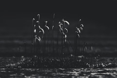 (Kathy M photography) Tags: macro macrophotography macroflower macrolens sony sonya65 sonyalpha flower flowers flowerpower kathymphotography nature new bw blackandwhite blackwhite blackwhitegray