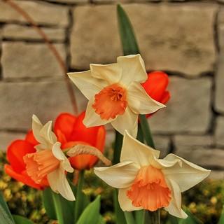 Sonnenberg Gardens & Mansion Historic Park ~ Canandaigua NY - Daffodils