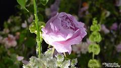 P1650041 (Christen Ann Photography) Tags: 2017 auckland december2017 flowergardenshow flowers nature newzealand plants watermarked