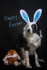 Happy Easter (Rainfire Photography) Tags: easter dressup bunny portrait dog bordercollie professional portraiture pet photographer photography nikon holiday heterochromia