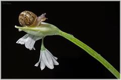 caracol (Neli Martin) Tags: caracol comun helix aspersa cría flor galicia nelimartin