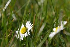 Spring flower (tom.7) Tags: gf7