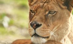 Lioness (Allan Jones Photographer) Tags: lioness lion bigcat closeup allanjonesphotographer canon5div canonef100400mmf4556lisusm dzp