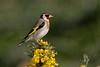 Chardonneret élégant (Andalousie) - European Goldfinch (Andalucia) (happybirds.ch) Tags: espagne spain andalousie andalucia wild sauvage nature oiseau bird chardonneret élégant goldfinch european jaune fleur flower yellow