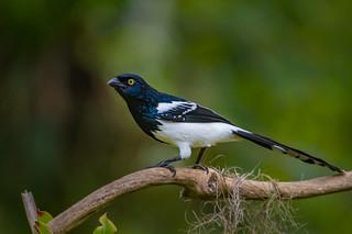 Magpie Tanager - Brazilian Birds - Species # 244