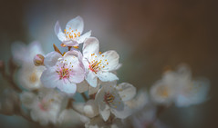 Spring Tree Blossom (Dhina A) Tags: sony a7rii ilce7rm2 a7r2 tamron sp 500mm f8 tamronsp500mmf8 prime ad2 adaptall2 mirrorlens 55bb catadioptric reflex cf tele macro spring tree blossom cherry orchard plum