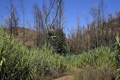 Auf dem Weg nach Monchique - brandgeschädigte Vegetation; Algarve, Portugal (74) (Chironius) Tags: portugal algarve rosids malvids myrtales myrtenartige myrtaceae myrtengewächse myrtoideae eucalypteae eukalypten eucalyptus baum bäume tree trees arbre дерево árbol arbres деревья árboles albero árvore ağaç boom träd commeliniden süsgrasartige poales süsgräser poaceae schilfrohr gras gräser herbe graminées grass grasses erba трава травы reet schilf phragmites