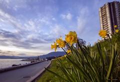 Blue Skies & Daffodils (Clayton Perry Photoworks) Tags: vancouver bc canada spring explorebc explorecanada skyline flowers daffodils