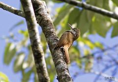 Scaled Woodcreeper (Lepidocolaptes squamatus)