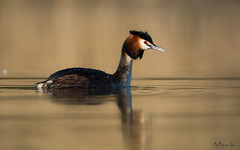 Perkoz dwuczuby/ Great crested grebe (mirosławkról) Tags: wild wildlife animal bird water pond lake sunrise grebe 150600 nikonnaturephotography nature