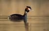 Perkoz dwuczuby/ Great crested grebe (mirosławkról) Tags: wild wildlife animal bird water pond lake sunrise grebe 150600 nikonnaturephotography nature