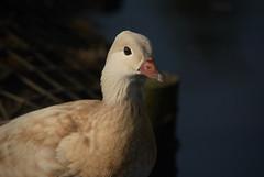 """In the shade (Ratsiola) Tags: birds ducks nature wildlife mandarin environment eyes bill pink shadow """"natural world"""" water"""