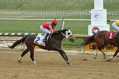 "2018-04-07 (33) r2 Carlos Carrasco on #2 Shecor (JLeeFleenor) Tags: photos photography md marylandhorseracing racing maryland marylandracing laurelpark jockey جُوكِي ""赛马骑师"" jinete ""競馬騎手"" dżokej jocheu คนขี่ม้าแข่ง jóquei žokej kilparatsastaja rennreiter fantino ""경마 기수"" жокей jokey người horses thoroughbreds equine equestrian cheval cavalo cavallo cavall caballo pferd paard perd hevonen hest hestur cal kon konj beygir capall ceffyl cuddy yarraman faras alogo soos kuda uma pfeerd koin حصان кон 马 häst άλογο סוס घोड़ा 馬 koń лошадь outside outdoors"